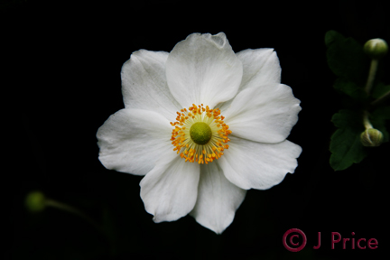 White flower open