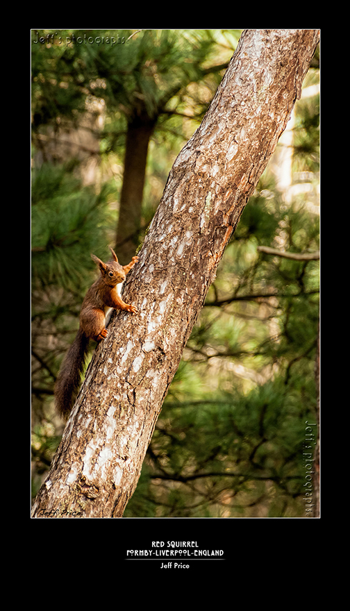 Red Squirrel Formby - Liverpool - England