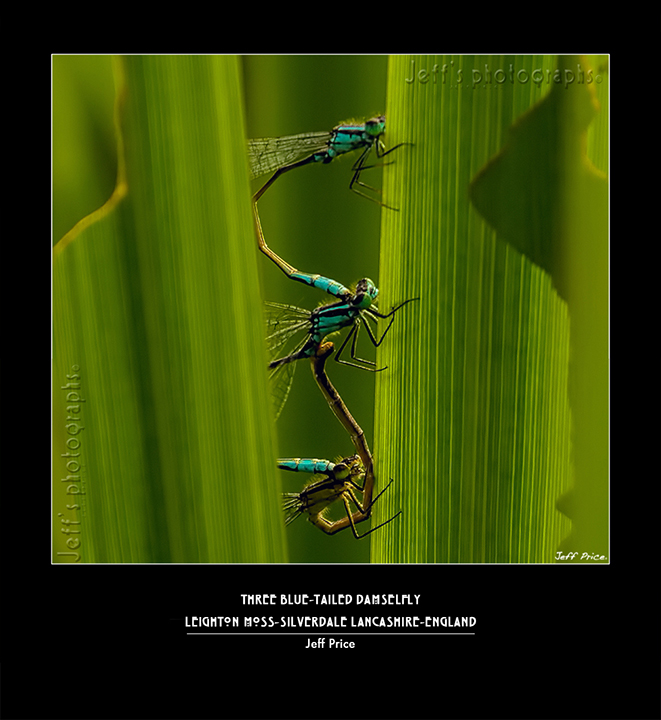 Three Blue-tailed Damselfly, Leighton Moss-Silverdale Lancashire-England