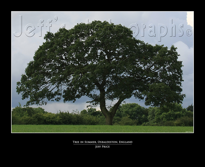 Tree in Summer, Osbaldeston, England