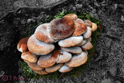 Toadstool cluster mix